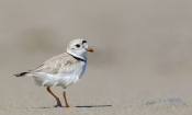 Piping Plover, Chockpish, St. Edouard, Bouctouche, NB