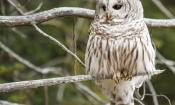 trillium-40-barred_owl__2_