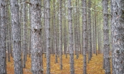 Pine Plantation in Algonquin Park