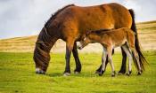 Wendy : Wild Exmoor Ponies